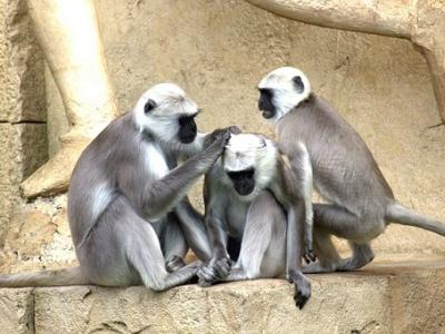 green-monkeys-112275__340.jpg